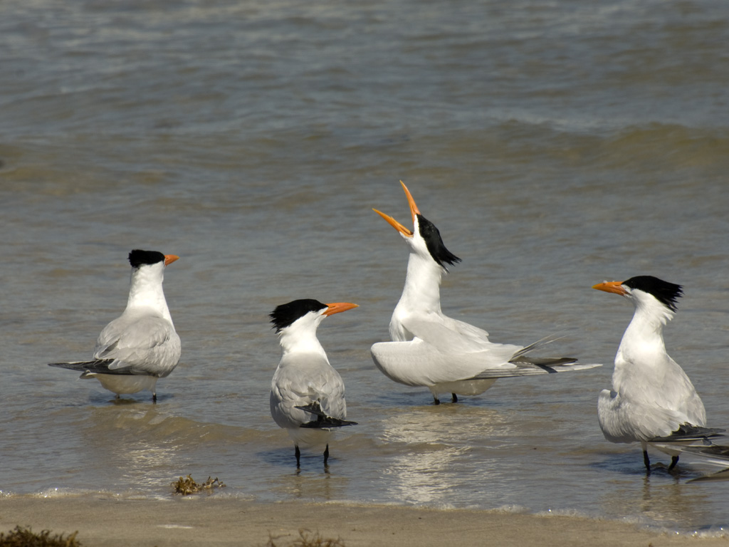 PINS_Royal_tern_DSC_0119